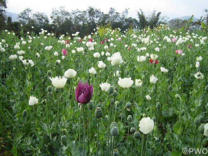 Poppy field in northern Shan State